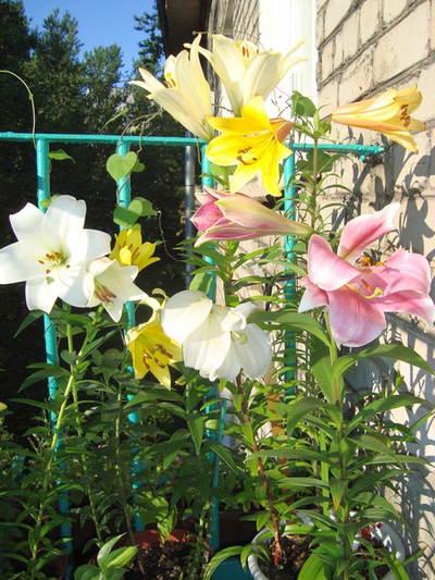 Лилии цветут