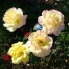 Любимая роза сорта Глория Дей