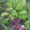 Папоротники в саду