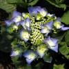 Гортензия с зонтиковидным соцветием