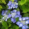 Гортензия крупнолистная с зонтиковидным соцветием
