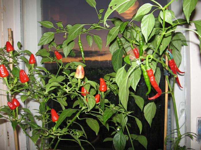 Перец маленькое чудо выращивание 35