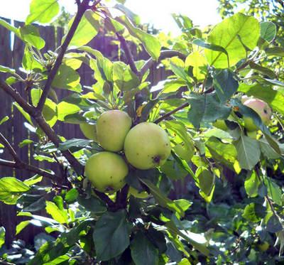 Яблони на карликовых яблонях