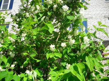 Выращивание в саду чубушника 20