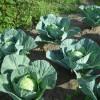 Из здоровой рассады вырастает хорошая капуста