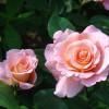 Розы в Петербурге