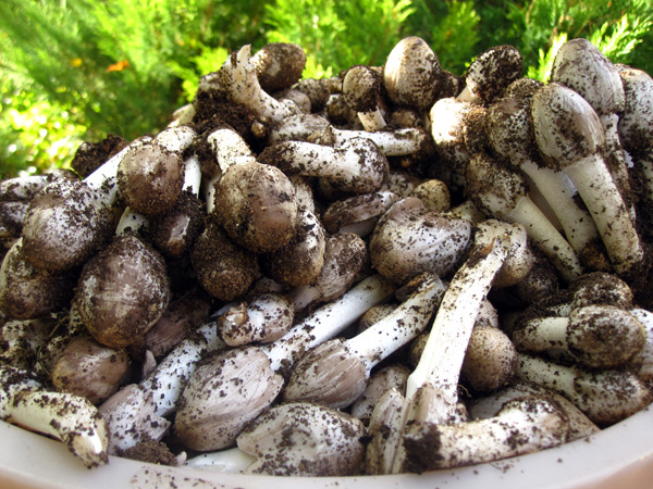 Навозники серые - молодые грибы