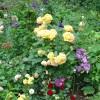 Английская кустовая роза Шарлотта