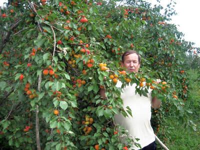 плодовое дерево Абрикос