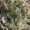 зеленая растительная ширма изгородь ландшафтный дизайн Кизил