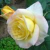 Чайно-гибридная роза Глория дей