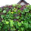 Девичий виноград зеленый забор растительная ширма ландшафтный дизайн