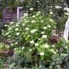 куст цветущей Гортензии зеленая ширма