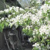 весна Груша цветет плодовые деревья