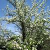 Груша цветет плодовые деревья сад