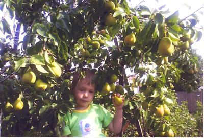 плодовое дерево Груша