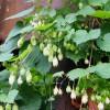 Хмель вьющееся растение лиана