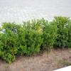 Живая изгородь Растительная ширма ландшафтный дизайн зеленые кусты