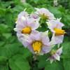 Картофель цветет картофель овощи огород