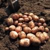 Картофель сорт Аврора овощи огород ботва