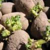 Клубни картофеля для посадки картофель овощи огород