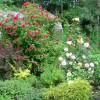Парковая роза Гротендорст