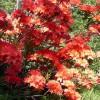 Рододендрон растительная ширма ландшафтный дизайн