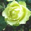 Чайно-гибридная роза Лимбо