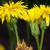 Цветки скорцонеры огород вкусный редкий корень