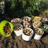 Урожай картофеля картофель овощи огород
