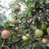Яблоки на яблоне плодовые деревья урожай