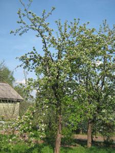Плодовые деревья сад Яблоня цветет ландшафтный дизайн