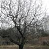 Яблоня весной плодовые деревья сад