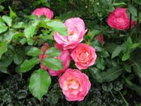 Питомник многолетних декоративных растений Александровский сад розы
