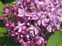 Питомник многолетних декоративных растений Александровский сад сирень